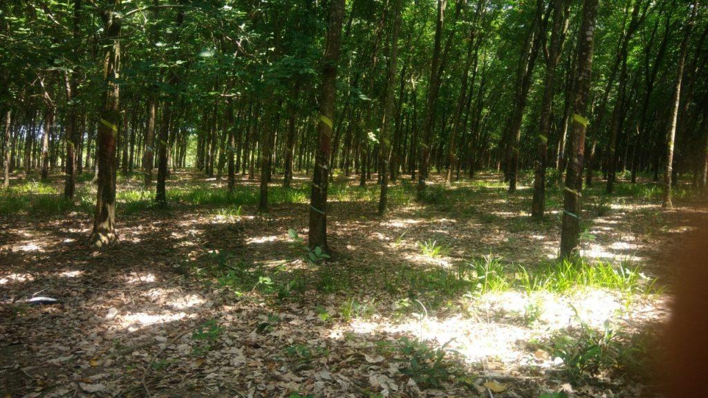 Bánvườn cao su tại ấp Tân Phú